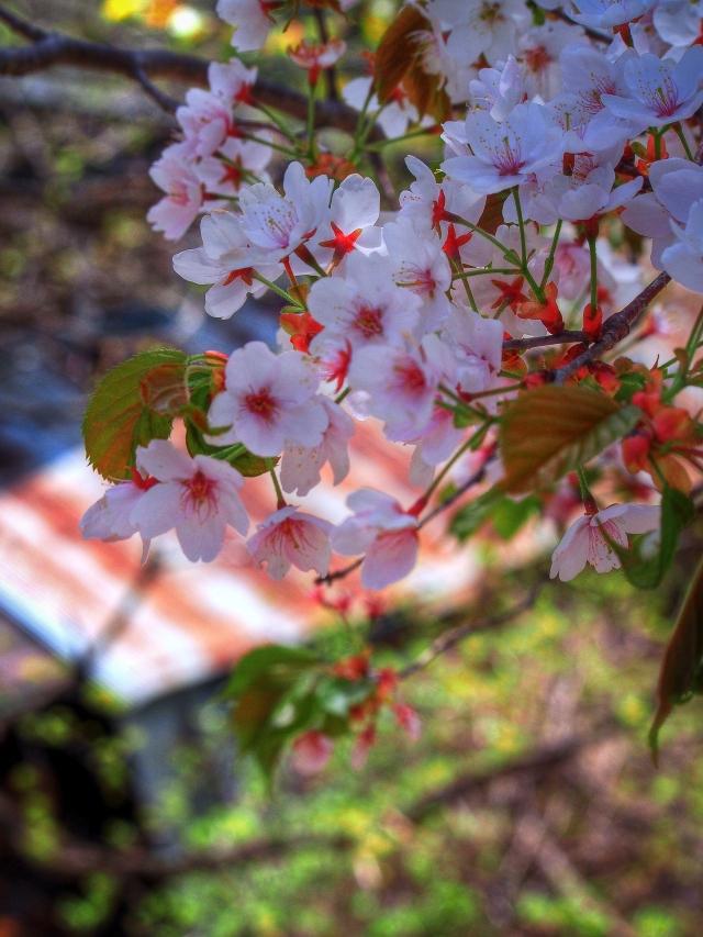 kamasawa sakura